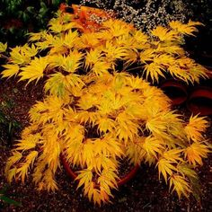 Japanese Maple 'Mikawa yatsubusa'