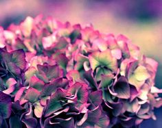 Flower Photography, fuschia, muted purple, green, hydrangea, flower Purple Romance fine art photography print 8x12