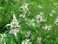 Horsemint/Beebalm, perennial, shade-tolerant, drought-resistant, 2-3 feet, attracts bees and butterflies, repels mosquitoes; also tolerant of salty conditions