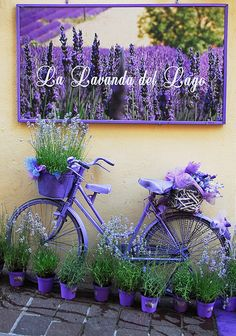 Lavender This photo has been taken in the Desenzano, Lago di Garda - Italy romantic and nostalgic about the combination of lavender and a bicycle. welcome to the Purple world Give your backyard or front lawn a fresh view this time with these wonderful gar Lavender Cottage, Lavender Blue, Lavender Fields, Lavender Flowers, Lavander, Garden Crafts, Garden Projects, Diy Projects, Bike Planter