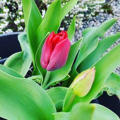 The tulips are popping their heads out love this time of year because I plant lots months before and completely forget what I planted so its all a big lovely surprise  #thesimplethings #garden #flowers #nature #flower #plants #green #gardens #plant #summer #growyourown #beautiful #homegrown #succulents #succulent #flowerstagram #gardener #mygarden #love #greenthumb #instagood #naturelovers #picoftheday #growsomethinggreen #spring #landscape #countryliving #photooftheday #flowerstagram…