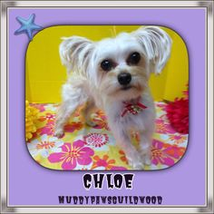 Chloe looking her besf Pet Grooming, Chloe, Pets, Animals, Animais, Animales, Animaux, Animal, Dieren