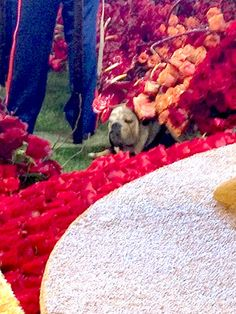 Look closely. Here's me hiding in the flowers on the Natural Balance Rose Parade float before float judging. #RosePets