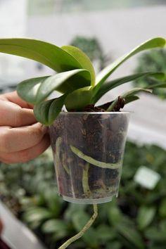 Proč vám špatně kvetou orchideje: zásadní chyby, kterých se… | iReceptář.cz Flora, Planter Pots, Garden, Home Decor, Plants, Orchids, Garten, Decoration Home, Room Decor