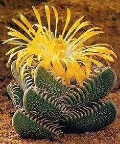 ✿*Crassula*✿*Suculentas*✿ pyramidalis:Tiger's Jaw (Faucaria trigrina) Weird Plants, Unusual Plants, Rare Plants, Cool Plants, Exotic Plants, Cacti And Succulents, Planting Succulents, Cactus Plants, Planting Flowers