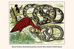 Royal Python, Reticulated python, Scarlet Ibis, Rufous-Tailed shama