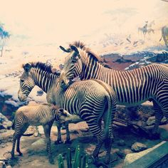 Zebras, Akeley Hall of African Mammals  via @allibrown7