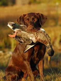 . #hunting #dog #1816 #remington