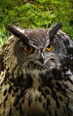 Photo by Ivana Piskáčková Blackbird, Owl, Animals, Animales, Animaux, Owls, Animais, Animal