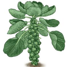 When growing Brussels sprouts, follow these planting, harvest and storage tips, and choose vigorous Brussels sprout varieties.