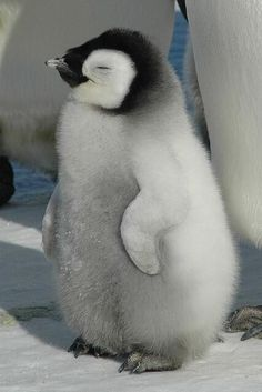 Smiling baby penguin