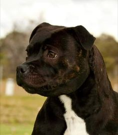 Staffy Bull Terrier, Staffy Dog, Terrier Dogs, Stafford Pitbull, English Staffordshire Terrier, Animals And Pets, Cute Animals, Toothless, Family Dogs
