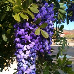 Texas Mountain Laurel Texas Landscaping, Landscaping Trees, Planting Bulbs, Planting Flowers, Garden Art, Garden Plants, Butterfly Food, Texas Forever, Texas Gardening