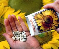 Growing sunflowers from seed - one per square foot, plant companion low growing seeds around it