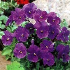 Solution Seeds Farm Rare Hierloom Adaptable Violet Queen Flower Seeds, Original Package, 40 seeds, Indoor potted flower plants ornamental flowers