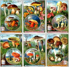 """Liebig S631 Edible Mushrooms complete set by cigcardpix on Flickr. Liebig's Beef Extract """"Edible Funghi"""" German issue, 1900."""