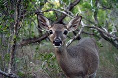 Key Deer, Big Pine Key, Florida Keys