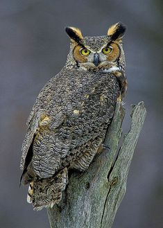"""The Great Horned Owl is probably the one most people think of when someone mentions owls. There are many species of owl and each of them have their own distinct sound. The Great Horned sounds the closest to the """"Whooo, Whooo"""" sound that we learn as children as the sound owls make. This beautiful bird perched on a dead stump near my Michigan home and posed for a few photos.  Size: 8"""" wide x 10"""" high unmatted photograph printed on premium paper and rated for decades of longevity. Your photo…"""