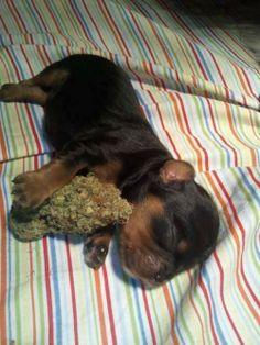 Puppy Nugs #cute #puppy #dog #marijuana #bud #weed #420 #sleeping #pets #babies