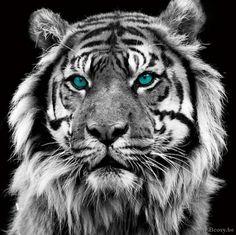 XX-PR Interiors Glass Art Glazen Kader glaspaneel tijger V tijgerkop met blauwe ogen 80x80
