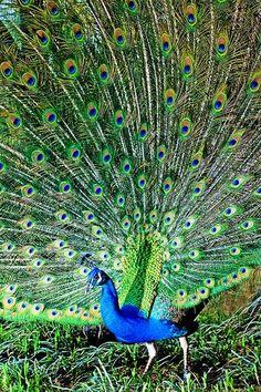 White Blue Peacock Wallpaper 40352 Trendnet