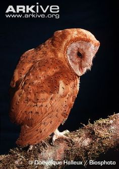 The Madagascar Red Owl is in the family Tytonidae which includes the barn, grass and bay owls. Members of this family are easily distinguished by the heart-shaped facial disc.