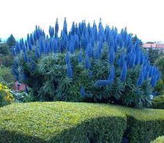 Echium Fastuosum - Pride Of Madeira Plant!  uk.picclick.com