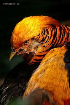 Golden Pheasant by Vernon Lee, via animals Pretty Birds, Beautiful Birds, Animals Beautiful, Exotic Birds, Colorful Birds, Golden Pheasant, Game Birds, Mundo Animal, Bird Pictures