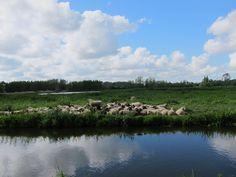 Schaapskudde in de polder