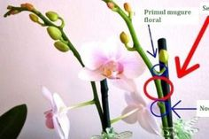 Where to cut an orchid spike to encourage a rebloom. Also, I want those moth clips!How to cut a phalaenopsis orchid spike, when blooms dying, to try to reproduce blooms. Related Post Blue Hawaii Orchid — how can something so be. Phalaenopsis How to Phalaenopsis Orchid Care, Moth Orchid, Orchid Plants, Orchid Seeds, Orchids Garden, Garden Plants, Indoor Plants, House Plants, Growing Orchids