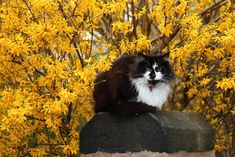 Image cat with yellow flowers 188971 in Rakesh Kumar Sharma's images album Unique Cat Names, Unique Cats, Cute Little Kittens, Cats And Kittens, Big Cats, Flower Images Free, Cute Cat Breeds, Flowering Shrubs, Maine Coon Cats