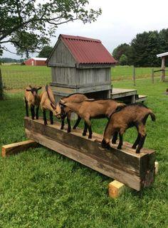 Our 2015 Ober kid crop // Sheepy Hollow Keeping Goats, Raising Goats, Mini Goats, Baby Goats, Goat Playground, Goat Toys, Goat Shed, Fainting Goat, Goat Shelter