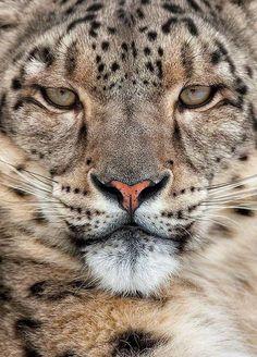 The Beauty of Wildlife — Snow Leopard Portrait Красивые Кошки, Большие Кошки, Милые Животные, Дикие Животные, Детеныши Животных, Бездомные Коты, Фото Животных, Природа, Леопарды