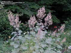 2015 planted in front beds, pretty foliage but didnt bloom- Full size picture of Plume Poppy, Bocconia (Macleaya cordata) - by hippo head Herb Garden, Garden Plants, Long Blooming Perennials, Spring Grove, Herbaceous Perennials, Parts Of A Plant, Shade Garden, Cut Flowers, Planting Flowers