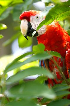 Costa rica. This, gentle readers, is a Scarlet Macaw, the second largest, right behind the Hyacinth.  A wonderful companion bird.  Yes, can be noisy, but they're smart, learn quickly and bond closely. Oh, those jaws can open a Brazil nut like we open peanuts.