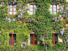 Wandbegrünungspflanzen