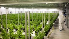 Medical marijuana plants grow in a climate controlled growing room at the Tweed Inc. facility in Smith Falls, Ontario, Canada, on Nov. 11, 2015. Construction and marijuana companies are poised to benefit from the Liberal Party's decisive win in Canada's e