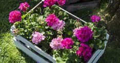 Stell av Pelargonia - Hageland Spring, Garden, Plants, Tips, Garten, Lawn And Garden, Gardens, Plant, Gardening