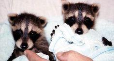 sweet baby raccoons
