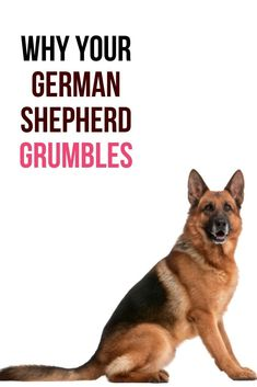 This post will show you what has been causing your German Shepherd to grumble. German Shepherd Ears, Long Haired German Shepherd, Female German Shepherd, Shepherd Dog, Dog Information, Dog Hacks, Cute Memes, How To Know, Dog Love