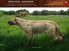 The largest of the Borophaginae - Epicyon haydeni, who lived in North America during the Miocene (about 6.20 - 5,330 million years ago). With the growth of a meter at the shoulder and even a little bit more, he, in fact, is the largest in the Canidae family.