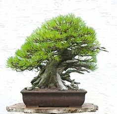 Walter Pall Bonsai Adventures: Mugo pine #5