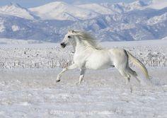 white stallion horse #animal