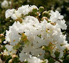 This early blooming crapemyrtle begins blooming in May, often as early as Mother's Day and much earlier than other June-July blooming crapemyrtles. Re-blooms in white for 100-120 days of color.