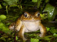 Cane Toad, Rhinella marina | Flickr - Photo Sharing!