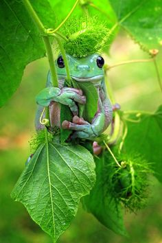 Cute little green frog clinging to some leaves. - Renèe Fehrle - Cute little green frog clinging to some leaves. Cute little green frog clinging to some leaves. Animals And Pets, Baby Animals, Funny Animals, Cute Animals, Green Animals, Funny Frogs, Cute Frogs, Beautiful Creatures, Animals Beautiful