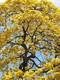 guayacan arbol florecido - Buscar con Google