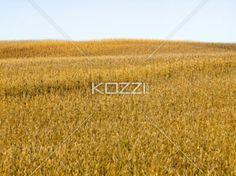 grain field and sky - A grain field against a sky