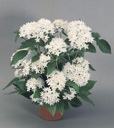 200 Pentas NEW LOOK WHITE Live Plants Plugs Garden Home Patio Planters 331