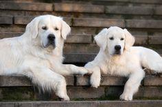 golden retrievery #golden #retriever #rasypsów #pies #goldenretrievery